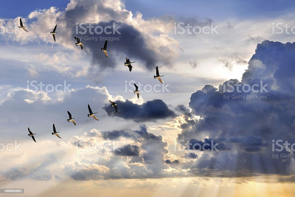 Geese Flying in V-Formation stock photo