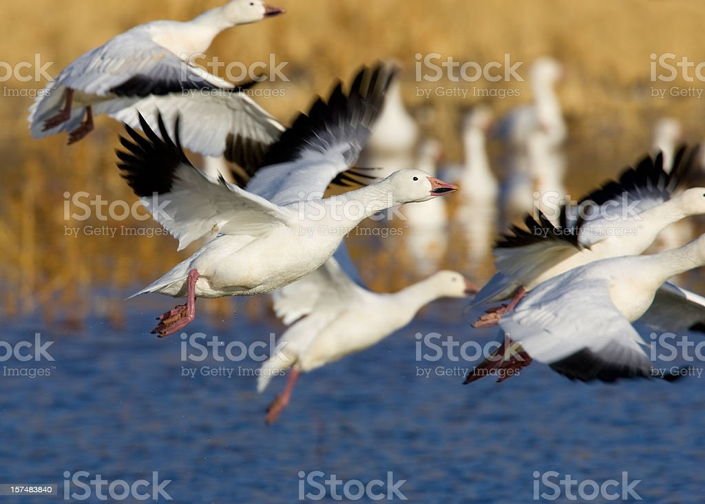 Geese Flying out of Wetland stock photo
