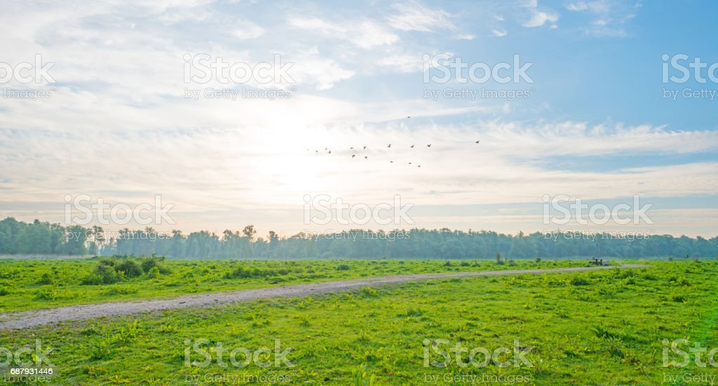 Geese flying over a field in wetland in spring stock photo