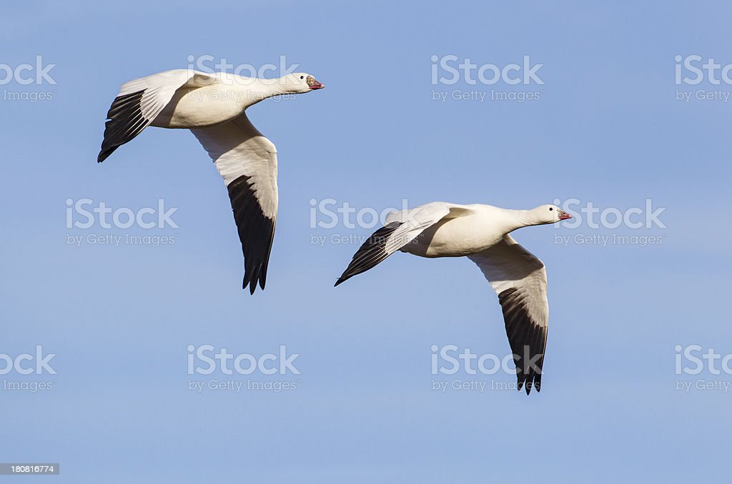 Geese Flying royalty-free stock photo