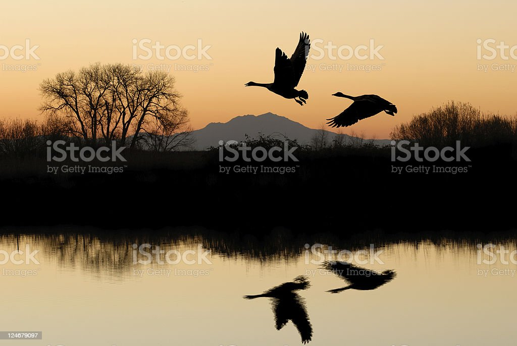 Geese flying with riparian reflection on lake stock photo