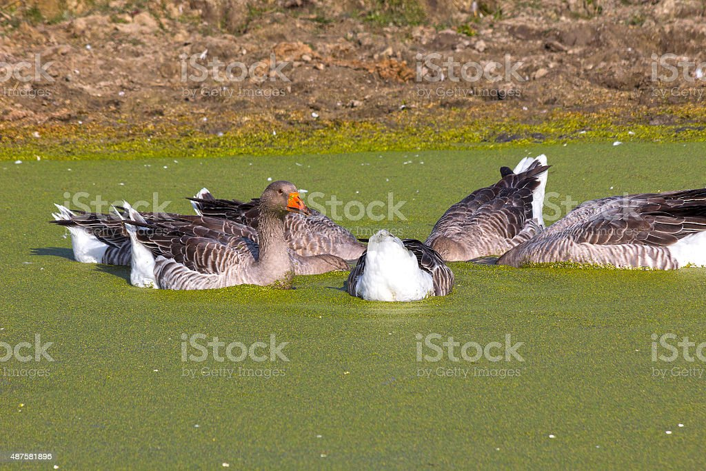 Geese hid their heads in the water stock photo