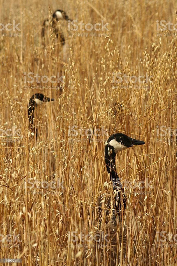 Geese in fields of gold royalty-free stock photo