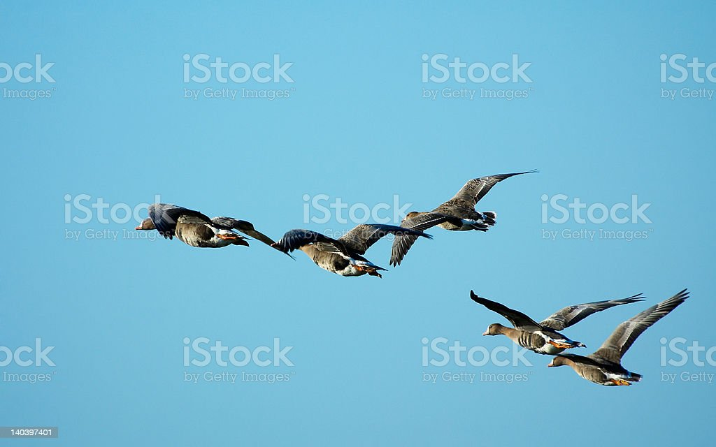 geese in flight royalty-free stock photo