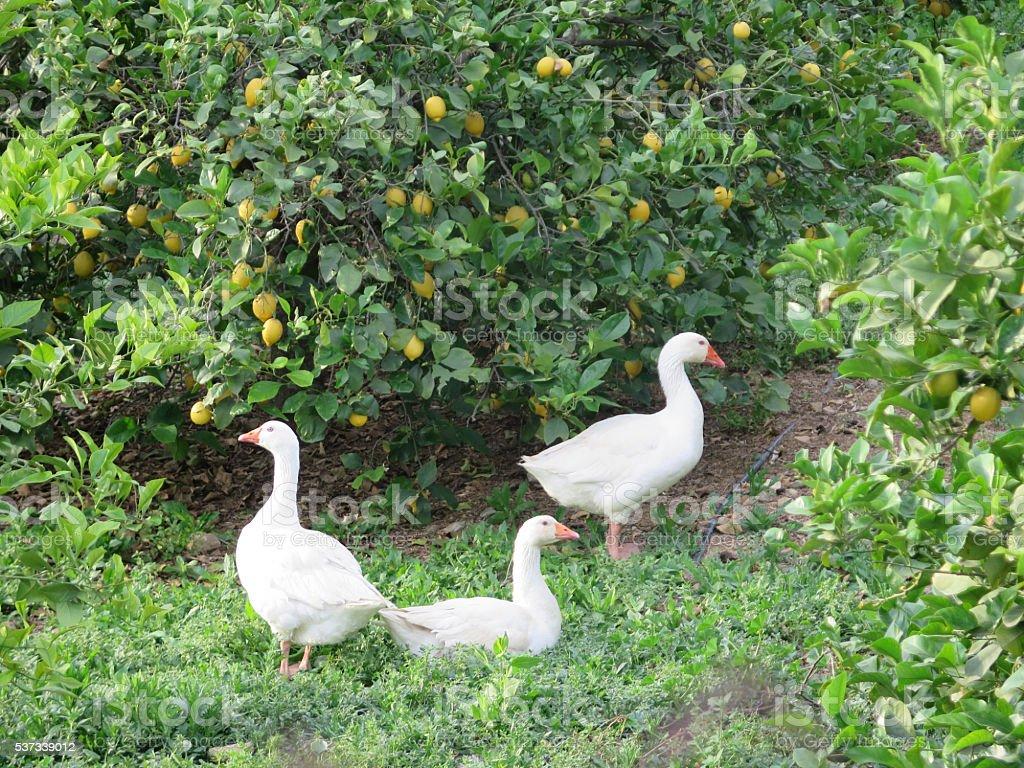 geese in Lemon Grove stock photo