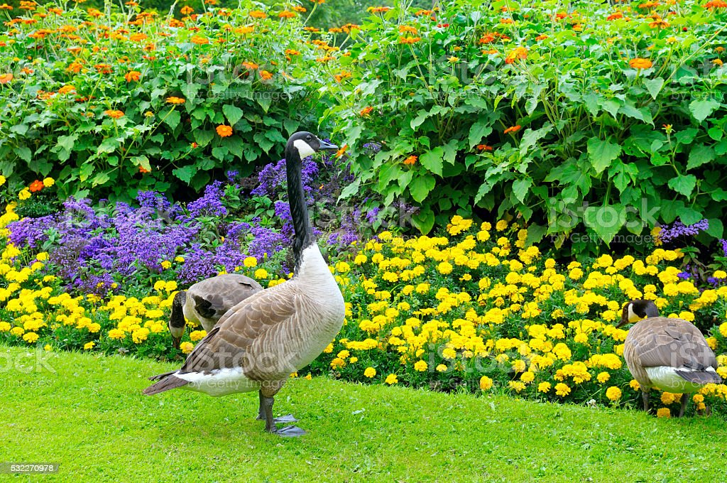 geese in the background of a flowerbed stock photo