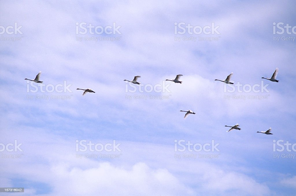 Geese in the Flight stock photo