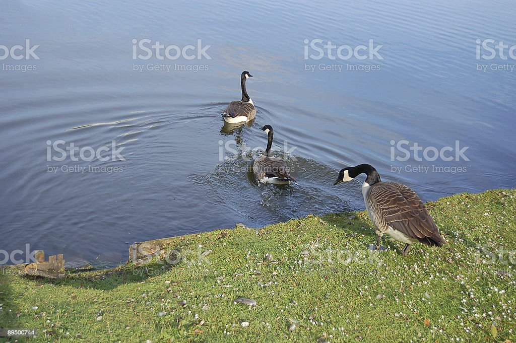geese in the park royalty-free stock photo