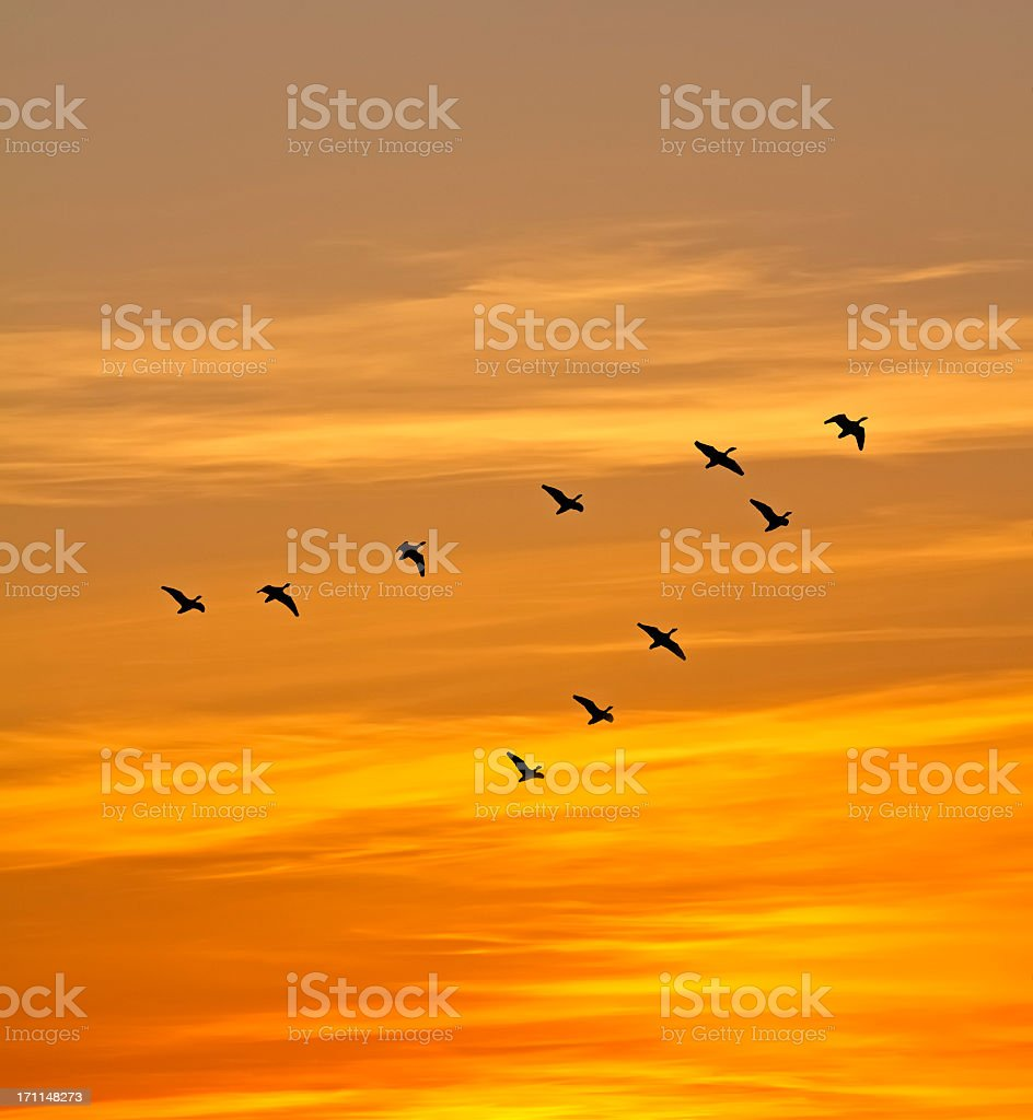 Geese in the sunset stock photo