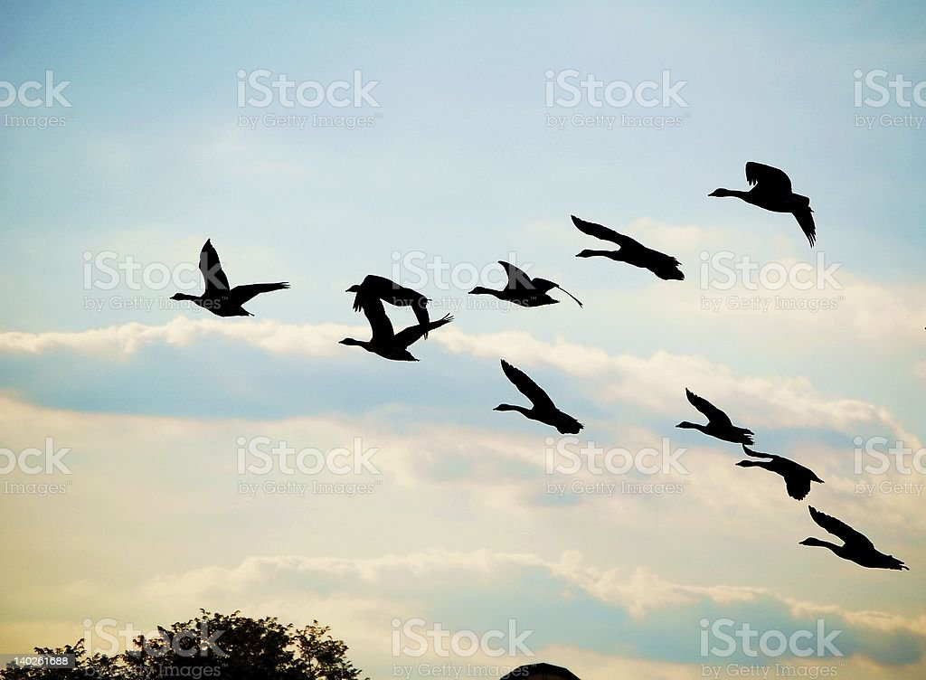 Geese in Vee formation royalty-free stock photo