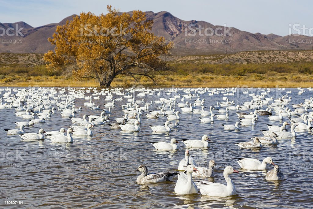 Geese in Wetland at Sunrise royalty-free stock photo