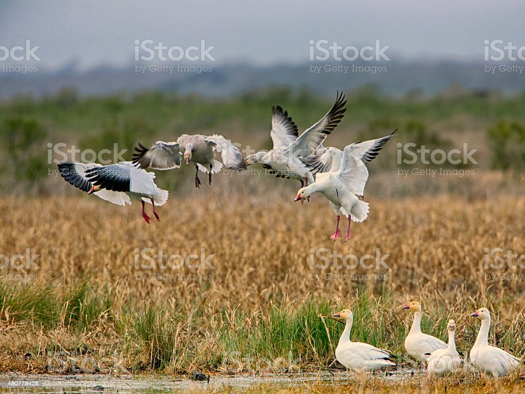 Geese Landing stock photo