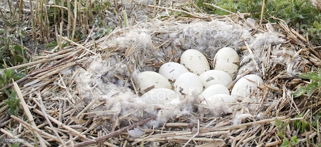 geese nest royalty-free stock photo