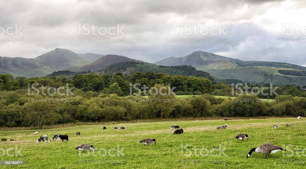 Geese of sheep and lambs on hillside stock photo