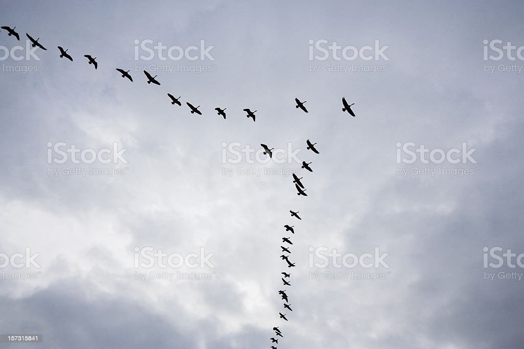 Geese on a Cloudy Day stock photo