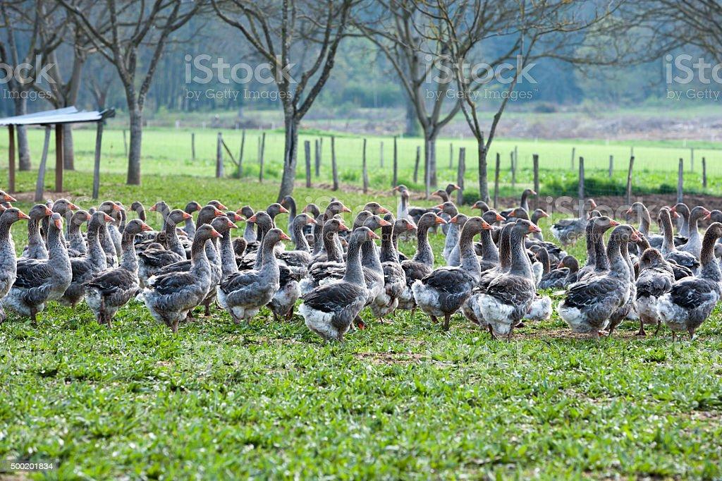 Geese on a foie gras farm stock photo