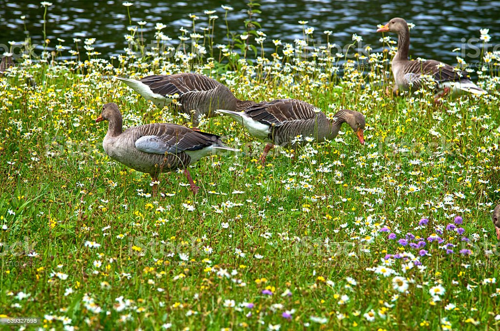 Geese on a meadow royalty-free stock photo