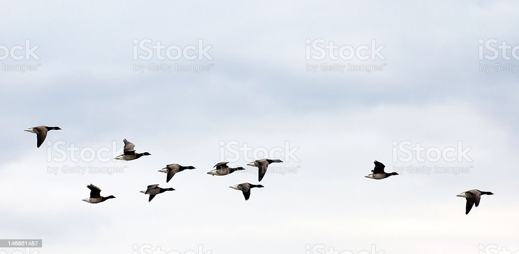 geese on autumn sky royalty-free stock photo