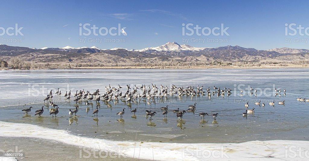 Geese On Ice stock photo