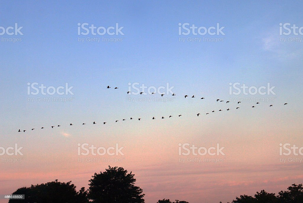 Geese on migration stock photo