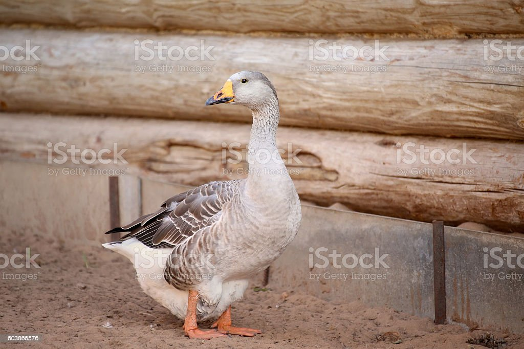 Geese on the farm. Shooting outdoors. Rustic theme. stock photo