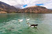 Geese on the of lake Kournas at island Crete, Greece