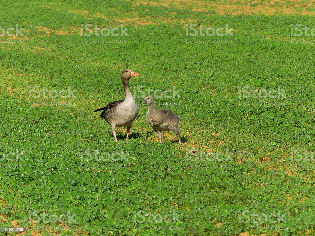 geese on the road stock photo