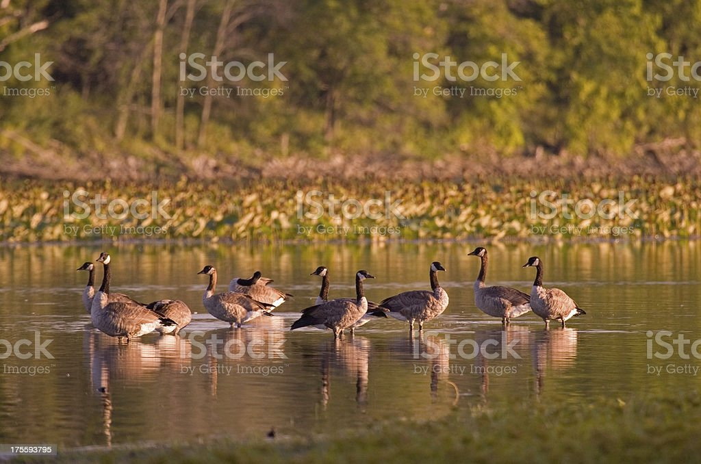 Geese royalty-free stock photo
