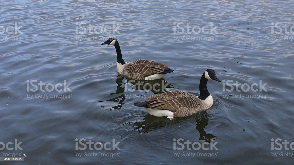 geese stock photo