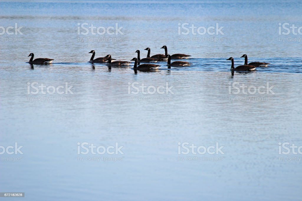 Geese squad stock photo