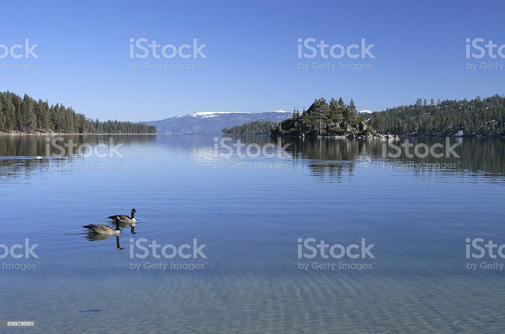 Geese swimming in Emerald Bay at Lake Tahoe royalty-free stock photo