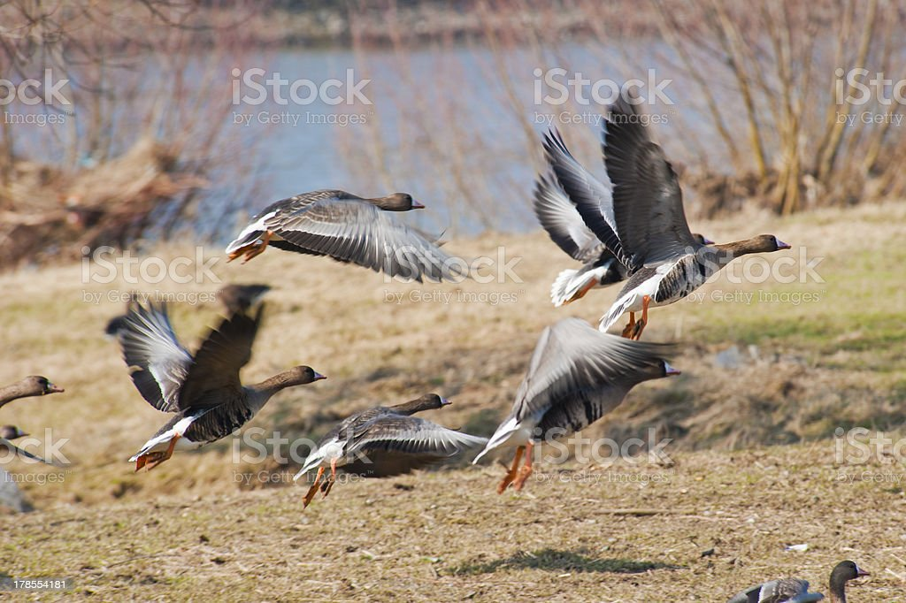 Geese taking off for a flight royalty-free stock photo
