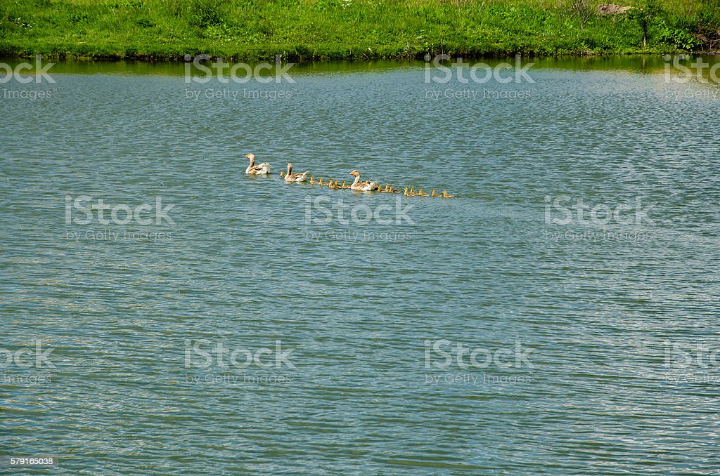 Geese with goslings in the pond stock photo