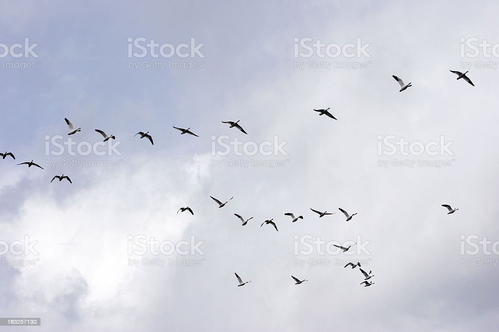Geese's migration royalty-free stock photo