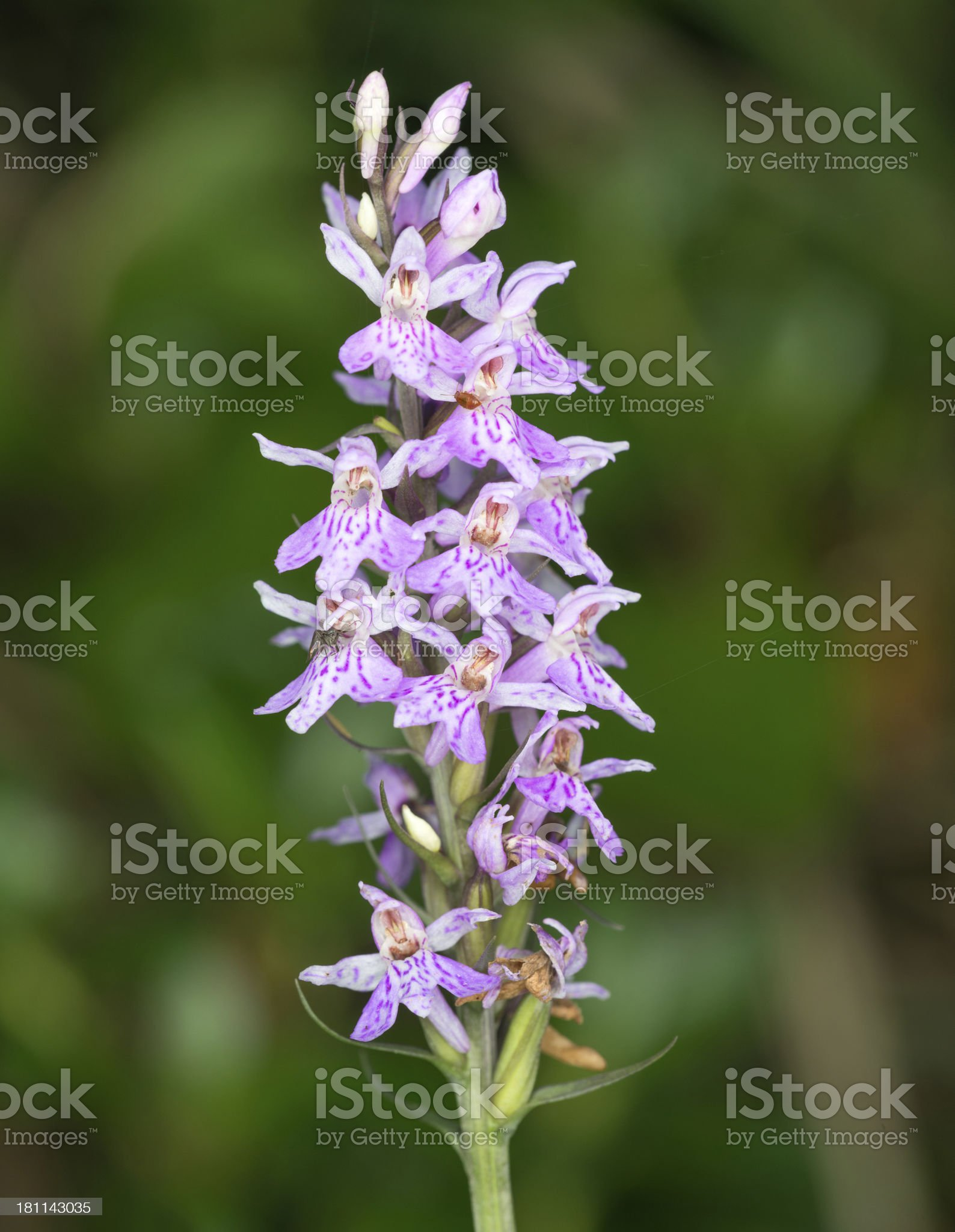 Gefleckte Knabenkraut, Heath Spotted Orchid, Dactylorhiza Maculata royalty-free stock photo