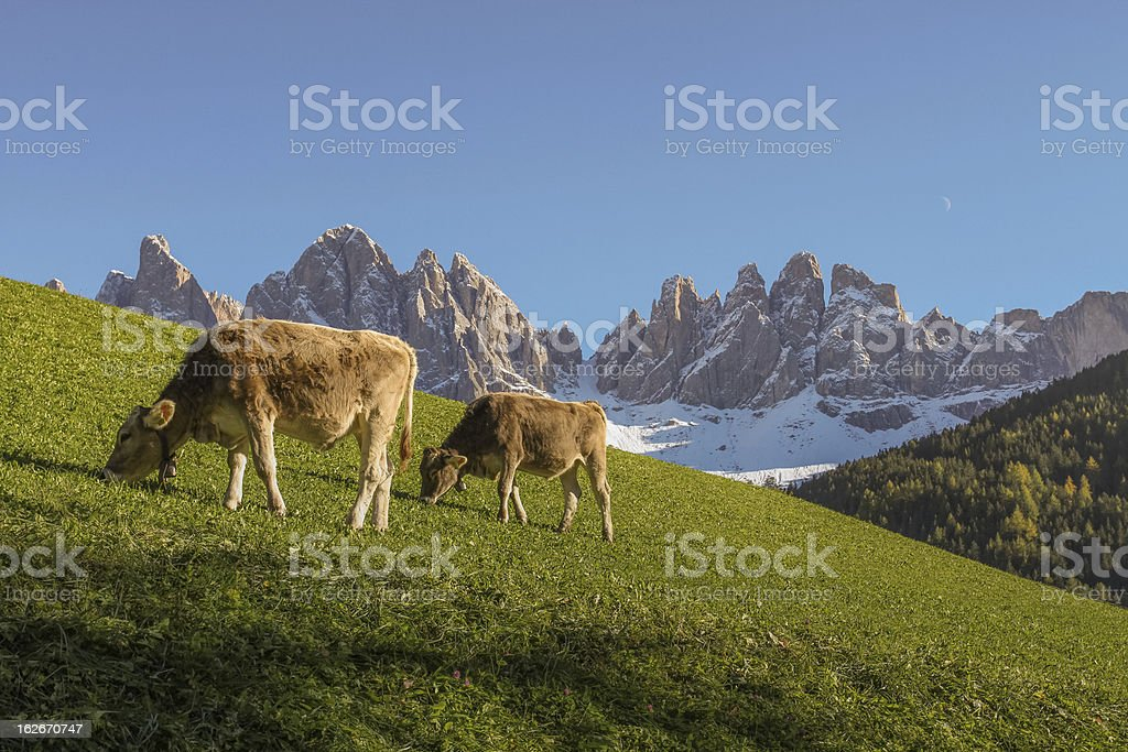 Geisler Mountains South Tyrol with cows royalty-free stock photo