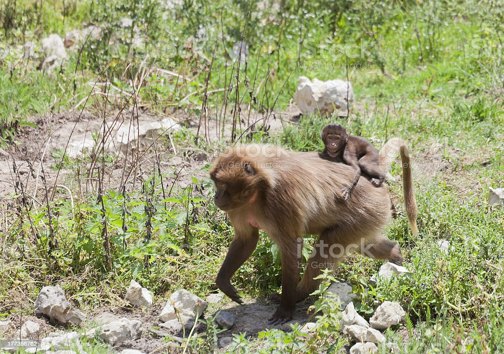 Gelada Baboon carrying baby on back royalty-free stock photo