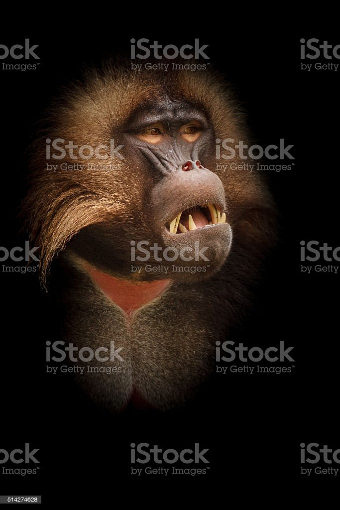 Gelada baboon from the darkness stock photo