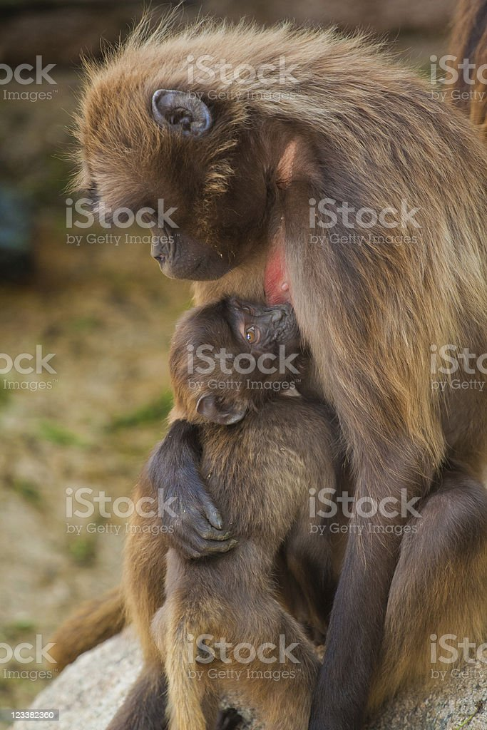 Gelada baboon royalty-free stock photo