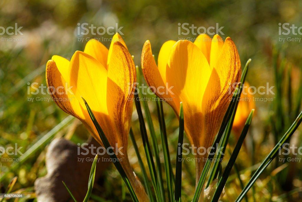 Gelbe Krokusse stock photo