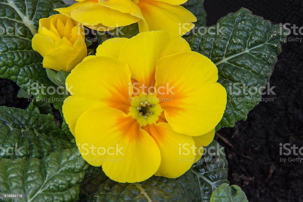 Gelbe Primel - Yellow Primrose stock photo
