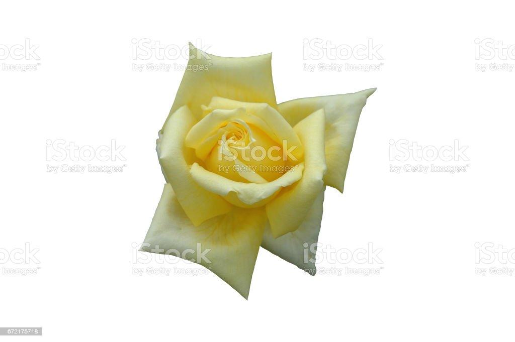 gelbe Rose stock photo