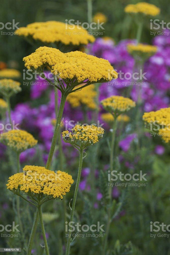 gelbe schafgarbe stock photo