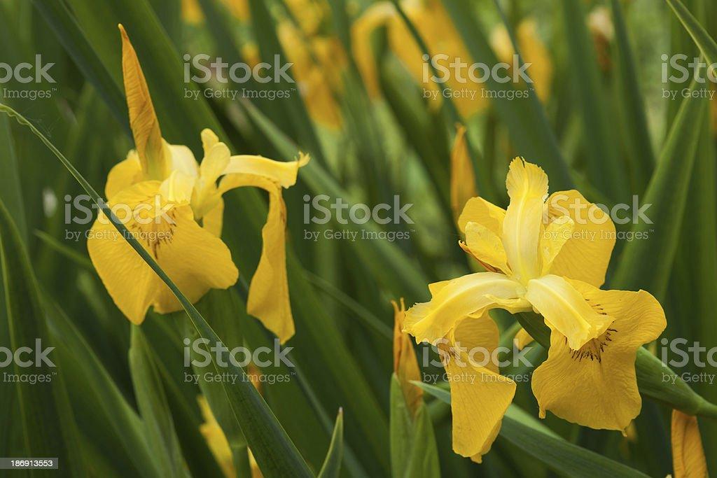 gelbe schwertlilie royalty-free stock photo