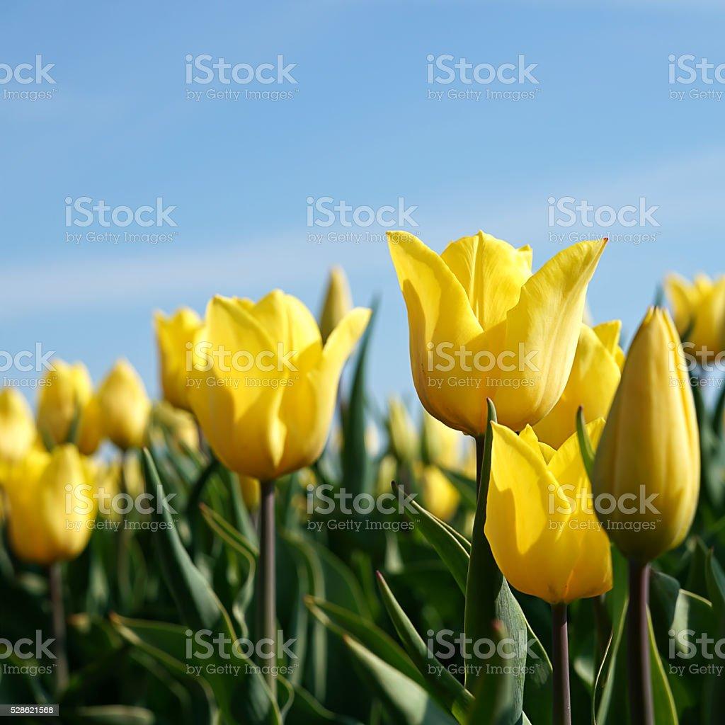 gelbe Tulpen stock photo