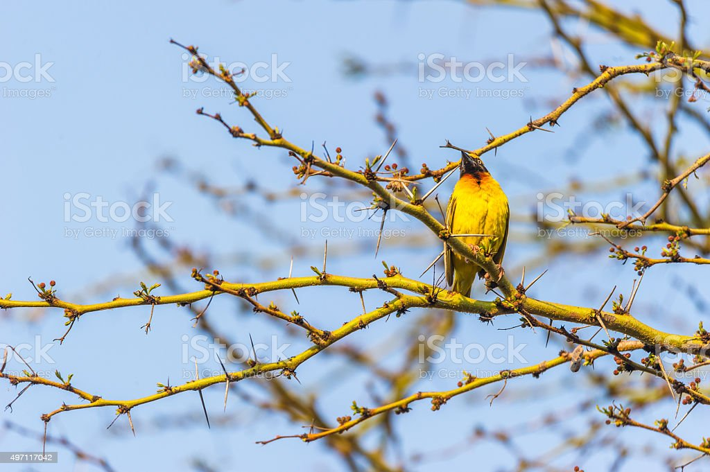 Gelber Vogel stock photo