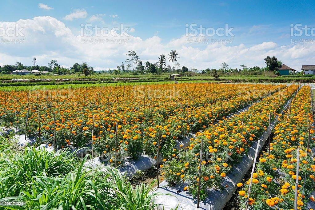 Gemitir or marigold flower garden in Denpasar, Bali, Indonesia. stock photo