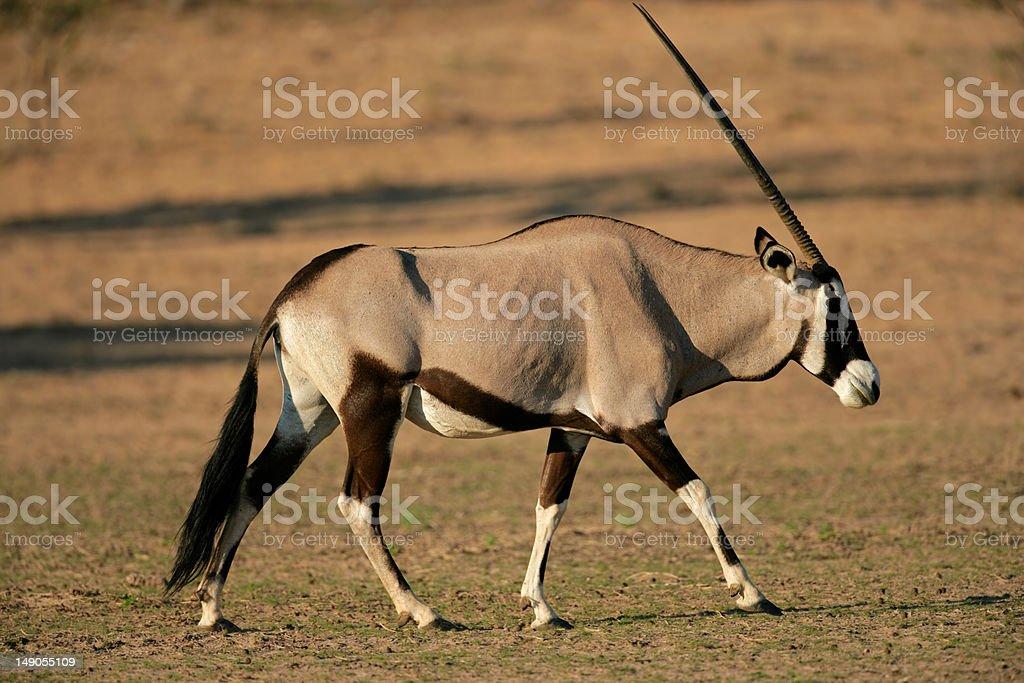Gemsbok antelope royalty-free stock photo