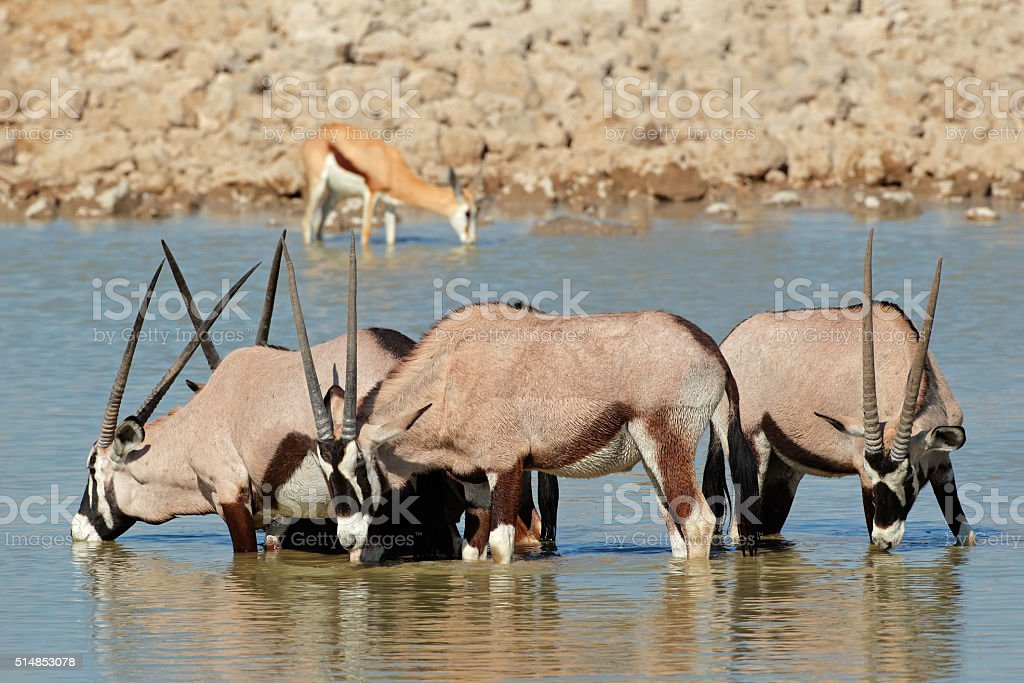 Gemsbok antelopes drinking stock photo