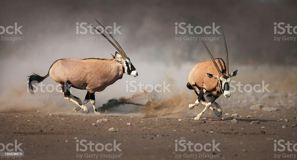 Gemsbok chase stock photo